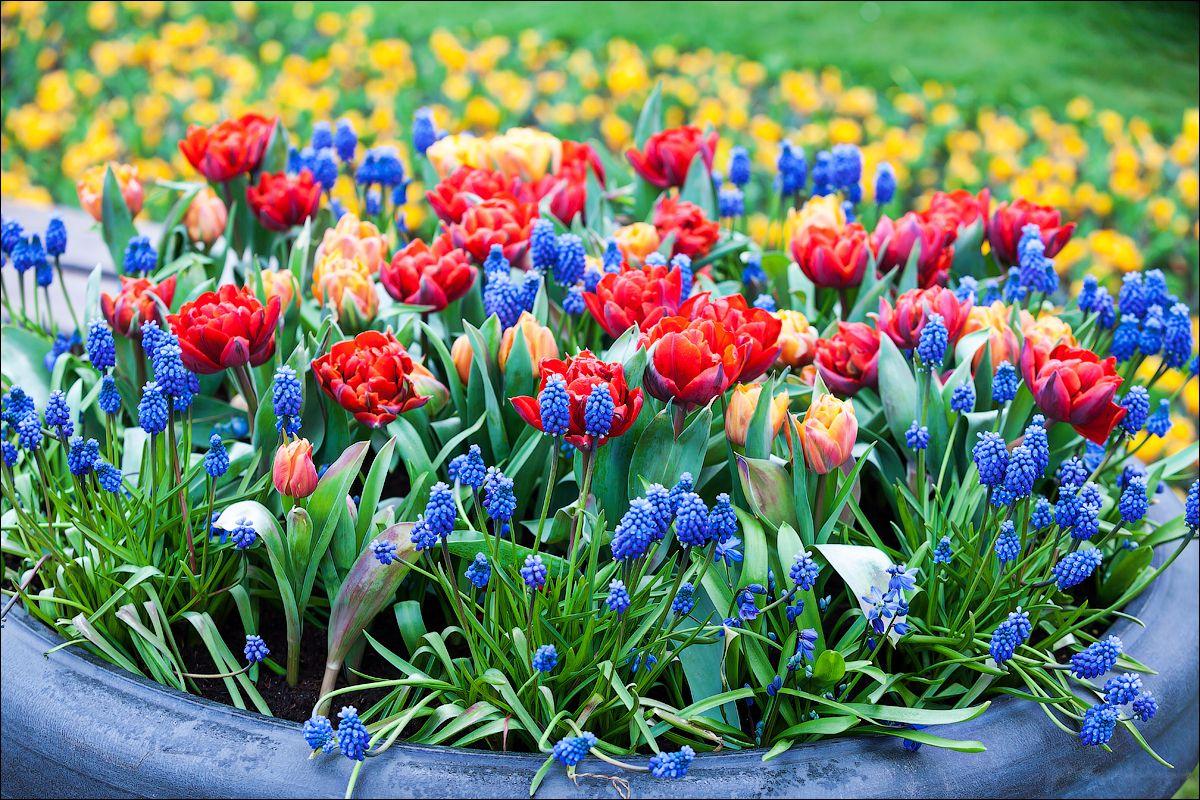 клумбы с тюльпанами и нарциссами фото намеренно